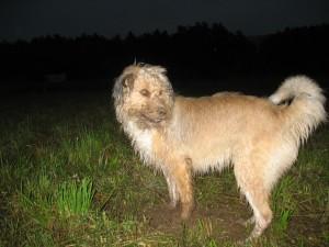 Бутуз добывает мышей в поле под покровом ночи.