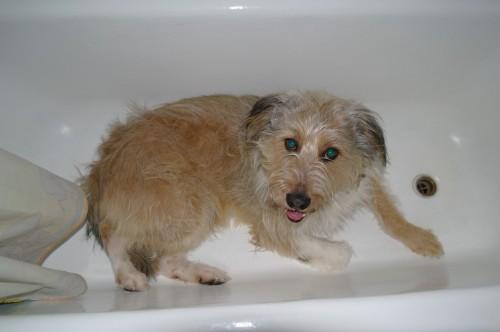пёс Бутуз прячется от шума в ванной